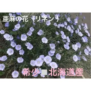 北海道原産◽️亜麻(リネン )の種タネ(その他)