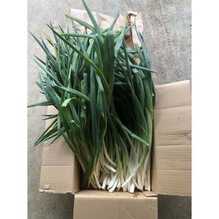 長ネギ 無農薬 70本(野菜)