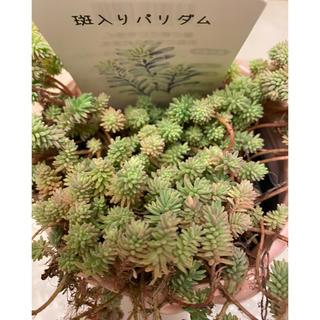 多肉植物✨斑入りパリダム✨20カット(その他)