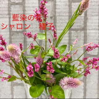 藍染の花 ケイトウ シャロン 種子 種(その他)