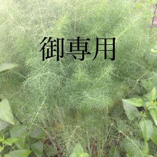 ご専用 フェンネル 生葉 カット茎 自然農法 完全無農薬無化学肥料自然農法 畑(野菜)