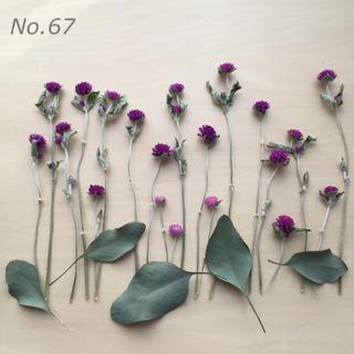 No.67  千日紅とユーカリポポラス ドライフラワー 花材 (ドライフラワー)
