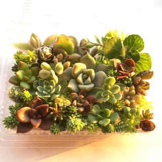 多肉植物 セダム⭐︎その他カット苗パック 15種類以上 m(その他)