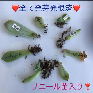 ⑧ 多肉植物 葉挿し 8種セット❤(その他)