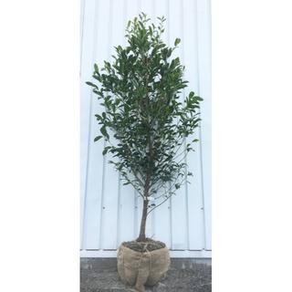 《現品》本榊(ホンサカキ)樹高1.5m 38(根鉢含まず)《苗木/植木/さかき》(その他)