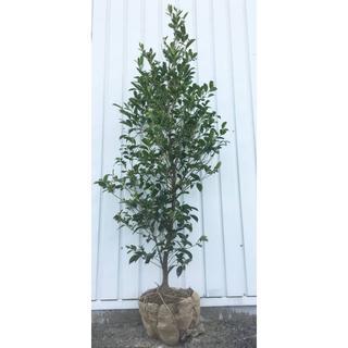 《現品》本榊(ホンサカキ)樹高1.5m 39(根鉢含まず)《苗木/植木/さかき》(その他)