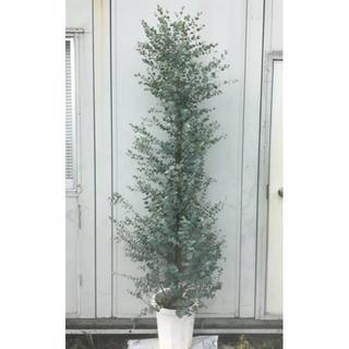 《現品》ユーカリ・グニー 樹高1.9m(鉢含まず)10【鉢/苗木/植木】(その他)