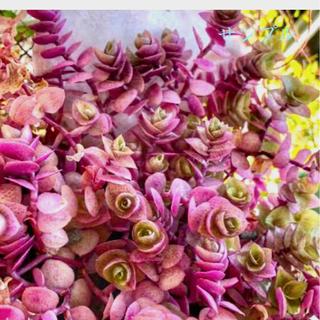 多肉植物 光の加減で色が変わる桜色カリシア カット苗50本(その他)