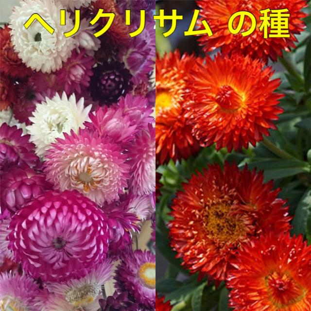 ヘリクリサム  種 約50粒 ハンドメイドのフラワー/ガーデン(その他)の商品写真