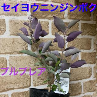 紫色の葉っぱがお洒落♡セイヨウニンジンボク苗⭐︎プルプレア(ドライフラワー)