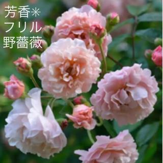 ✴️芳香✳︎フリル野薔薇 挿し穂 ✴️(プランター)