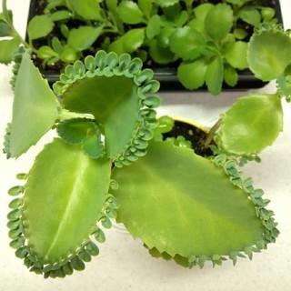 100個以上 子宝草 妊娠 妊活 観葉植物 マザーリーフ 幸運の葉 子宝 妊娠菌(その他)