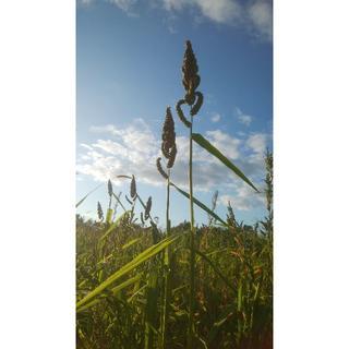 ことり用 ひえ穂 200g 化学肥料・農薬不使用栽培 北海道から送料込み ¥1,(鳥)