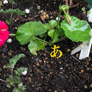 ポポ様用 あの アイビーゼラニウム 赤 八重咲き     根付き 抜き苗 1つ(プランター)