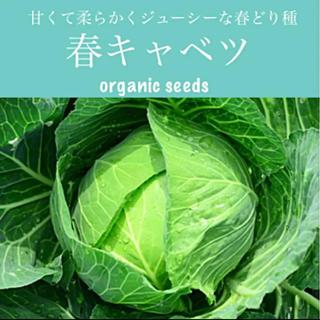 ◆春キャベツ◆やわらか甘くジューシーで育てやすい♡【オーガニック種子 20粒】(その他)