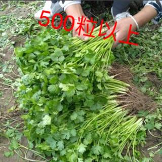 パクチーの種500粒以上(野菜)