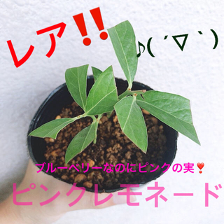 レア!! ピンクレモネード ブルーベリー 2苗!!(フルーツ)