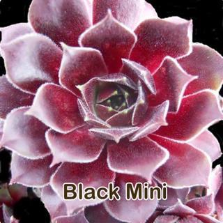 【Black Mini】センペルビウム(その他)