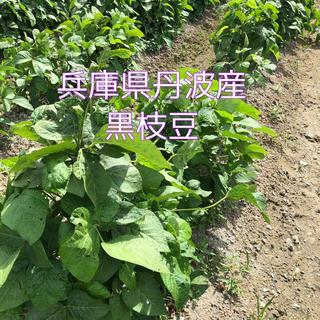 予約 丹波 黒枝豆 800g(野菜)