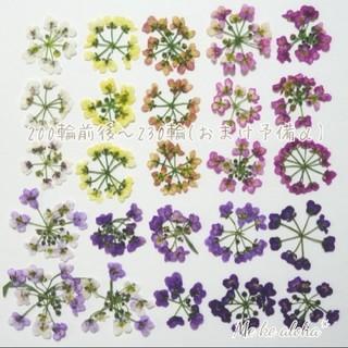 【No.1増量】全カラー アリッサム +α 素材 押し花(ドライフラワー)
