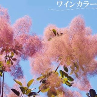 スモークツリー 苗 ワインカラー 苗木(その他)