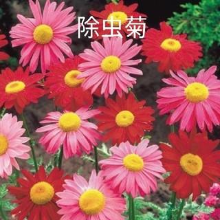除虫菊  赤花  30粒  花種(その他)