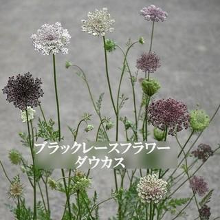 今がまき時 秋まき花の種  ブラックレースフラワー・ダウカスを100粒(その他)