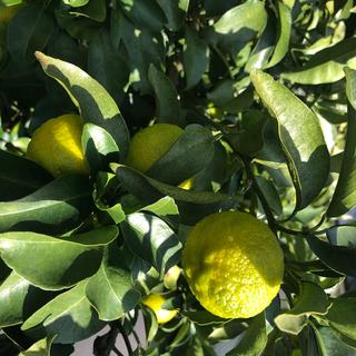 国産 無農薬 柚子 20個(フルーツ)