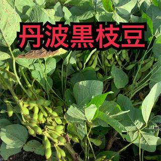 丹波黒枝豆 野菜 12日収穫 セール価格(野菜)