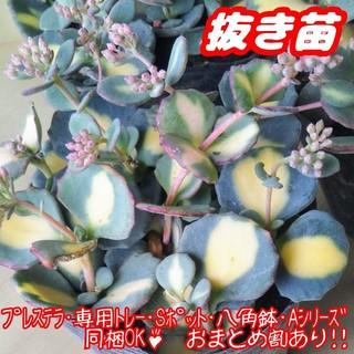 !!抜き苗!!【レア】斑入りミセバヤ 多肉植物 セダム 紅葉 プレステラ(その他)
