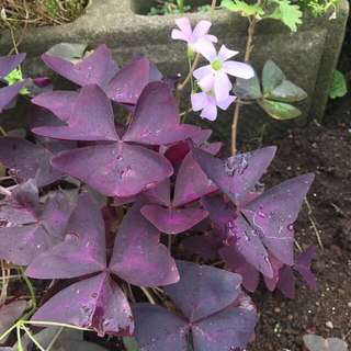 オキザリス トリアングラリス  紫の舞苗とホスタ2ポット(その他)