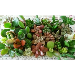 多肉植物カット苗 多肉植物寄せ植えに いろいろ可愛い 初心者様にも育てやすい(その他)