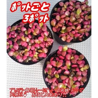 【ポットごと♪】桜吹雪×3ポット 多肉植物 アナカンプセロス 紅葉 プレステラ(その他)