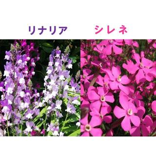 リナリア(姫金魚草)の種200粒とシレネ・ピンクパンサーの種100粒 今が蒔き時(その他)