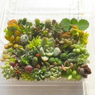多肉植物 セダム⭐︎その他カット苗パック 15種類以上 p(その他)