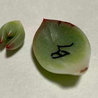 多肉植物 白夜 カット苗 葉挿し一枚(その他)