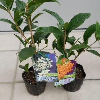 金さん銀さんペア!四季咲きキンモクセイと四季咲きモクセイの二本セットです。(その他)