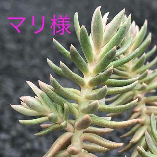 カメレオン錦【カット】多肉植物(その他)