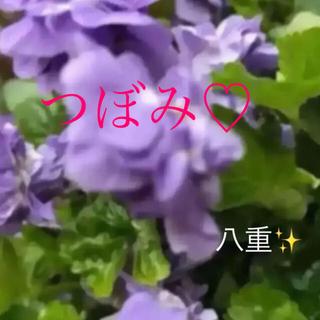A(ᵔᴥᵔ)♡パルマスミレ♡挿し穂苗♡グランドカバーにも♡良い香り♡八重(その他)