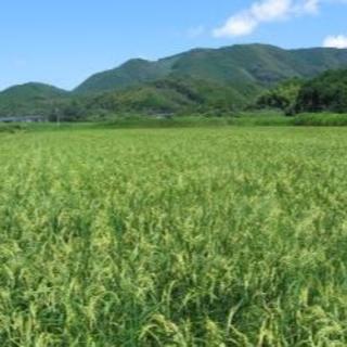 2020年8月刈り取り~新米が出来ました!自然栽培の白米(高知県産)(米/穀物)