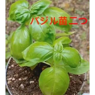 植物 バジル二つ(その他)