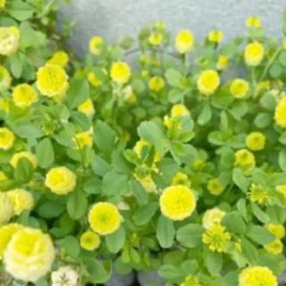 幸せの黄色いクローバー❣️ 『トリフォリウム カンペストレ』種‼️(その他)