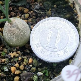 【抜き苗】シゾバシス イントリカータ 球根植物(その他)