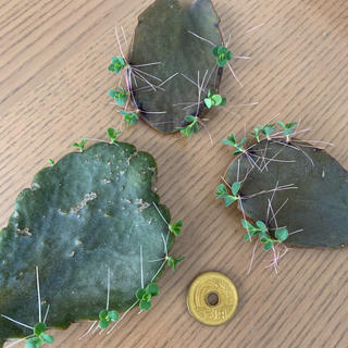 多肉植物 葉挿し 胡蝶の舞 寄せ植え 地植え 花壇 ガーデニング(その他)