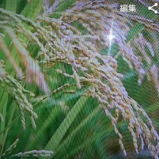 新米☆茨城県産こしひかり(米/穀物)