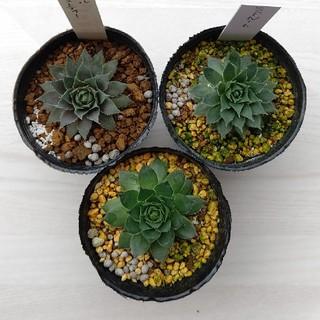 多肉植物    センペルビウム    3種    抜き苗(その他)