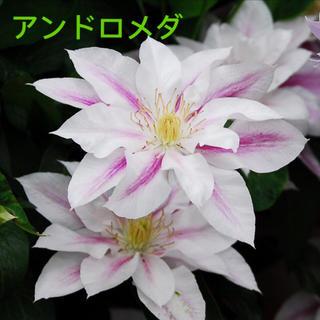 クレマチス 苗  アンドロメダ (その他)