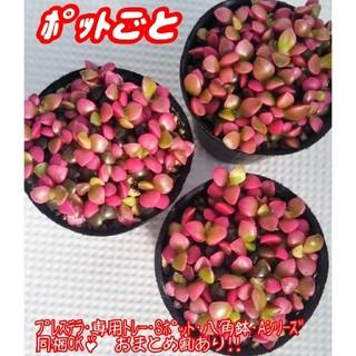 【ポットごと♪】桜吹雪 多肉植物 アナカンプセロス 紅葉 プレステラ(その他)