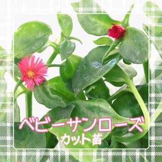 多肉植物 ベビーサンローズ カット苗(その他)