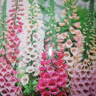 秋まき花の種 花の種 花種 ジキタリス ジギタリス100粒以上(プランター)